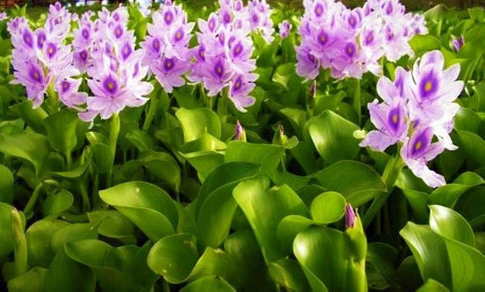 Water Hyacinths Floating Water Garden Plants (12 live plants)